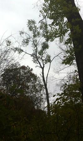 https://straycat.smugmug.com/Trees/Juglans-cinerea/i-7xnRPRh/0/M/IMG_2827%281%29-M.jpg
